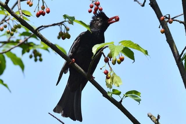 モヒカン刈りの似合う鳥