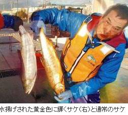 kiiro sake
