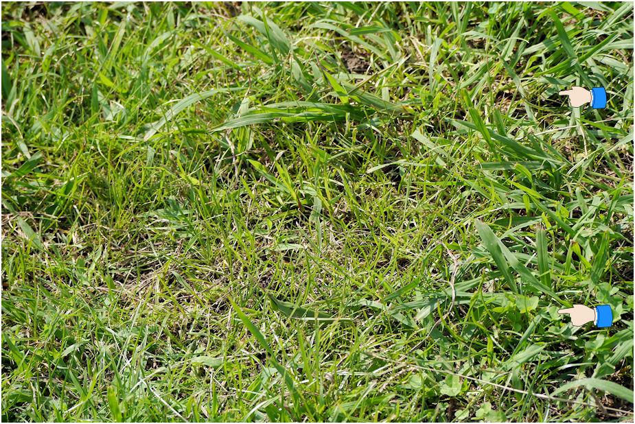 ショウリョウバッタがいる草むら