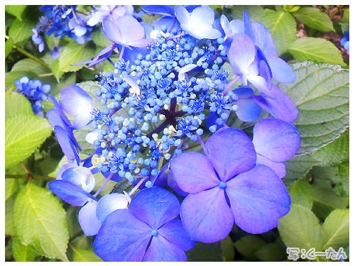 2013紫陽花