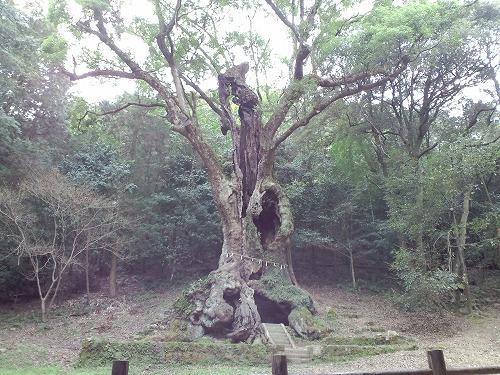 大楠の木1