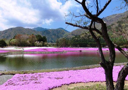 富士芝桜まつり (4)