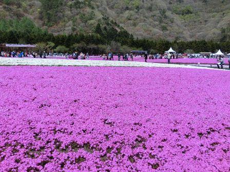 富士芝桜まつり (7)