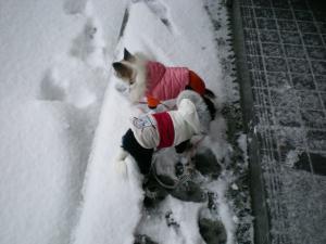 雪中ちわわさん01