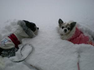 雪中ちわわさん03