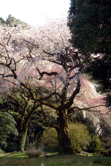 明治神宮境内の桜