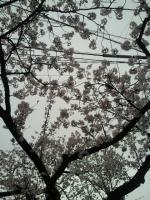 春日部の桜