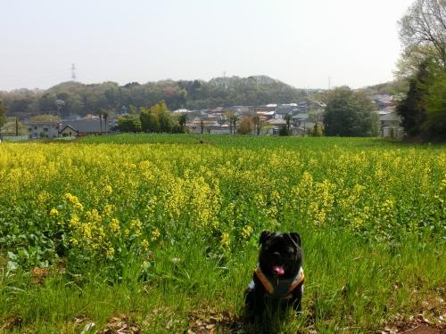 130405菜の花畑
