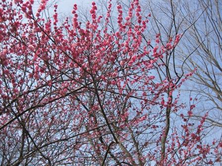 blog_ピンクの梅がいっぱい130310