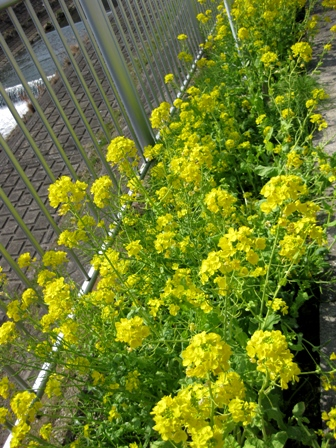 blog_菜の花がたくさん130310
