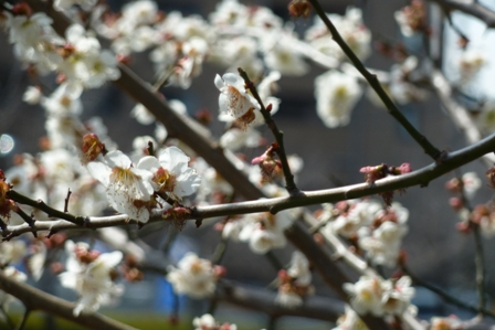blog_また梅が咲いている130310