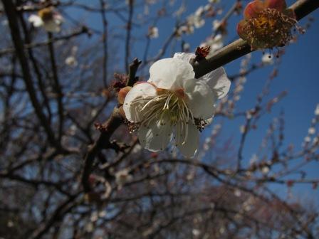 blog_絞り開放の白梅140310