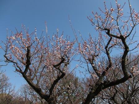 blog_絞り気味に撮った白梅の木140310