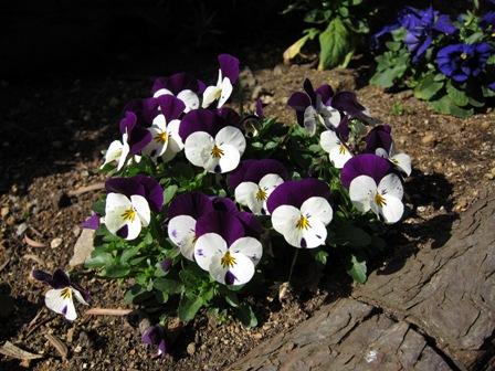 blog_紫と白のパンジー140310