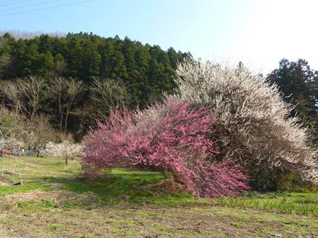 blog_ピンクと白が綺麗200310