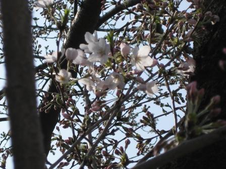 blog_桜が咲いてた220310