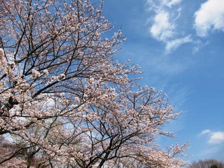 blog_青い空に桜が映える030410