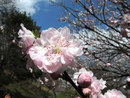blog_八重桜も綺麗030410