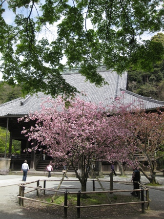 blog_妙長寺のカイドウ100410
