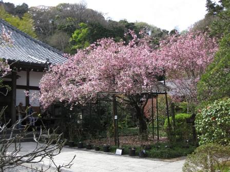 blog_光則寺のカイドウ100410
