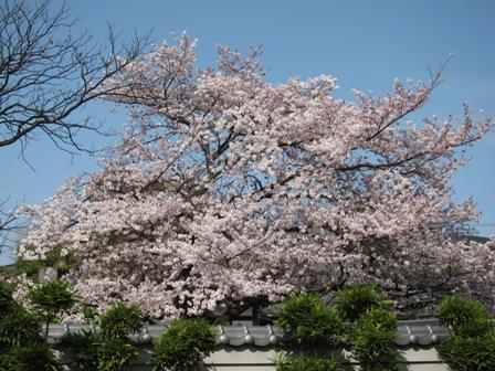 blog_北沢緑道の隣の桜110410