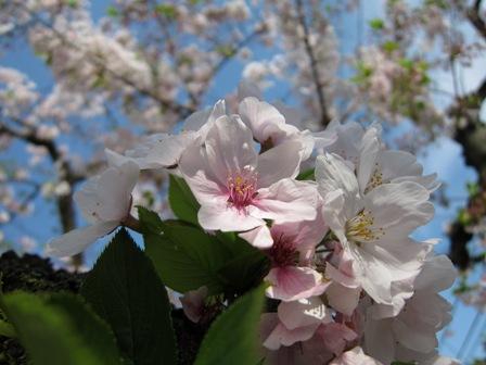 blog_桜のマクロ写真110410