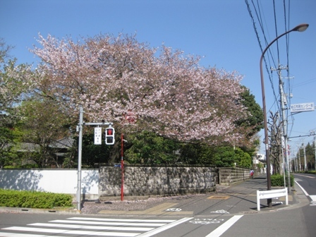blog_狛江通りの桜180410