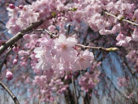 blog_枝垂桜マクロ180410