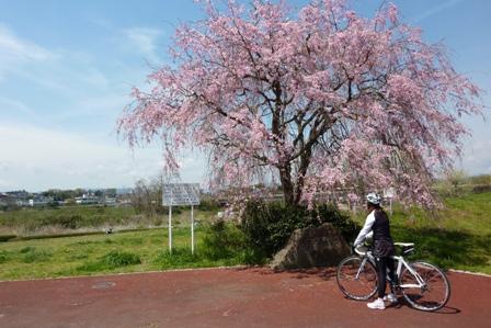 blog_枝垂桜を見ている180410