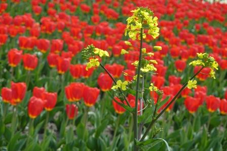 blog_菜の花も180410