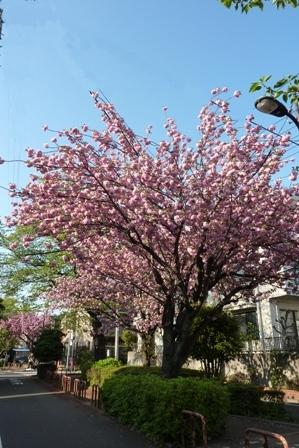 blog_八重桜250410