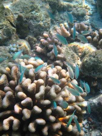 blog_サンゴに群れる小魚010510