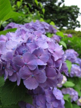 blog_アジサイの花200610