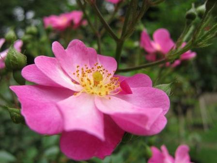 blog_ピンクのバラ200610