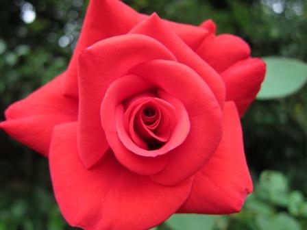 blog_赤いバラ200610