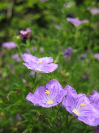 blog_紫の花200610