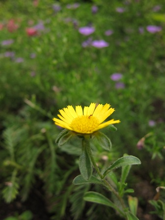 blog_タンポポみたいな花200610
