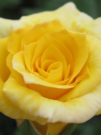 blog_黄色いバラ260610