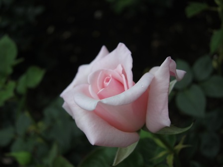 blog_かわいいピンクのバラ260610