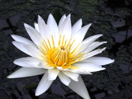 blog_白い蓮の花260310