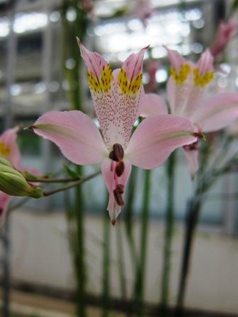 blog_ペルーのピンクの花260610