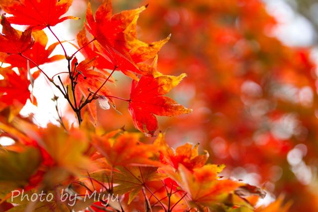 blog_もみじ60mm201110