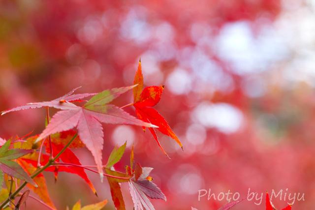 blog_もみじ100mm201110