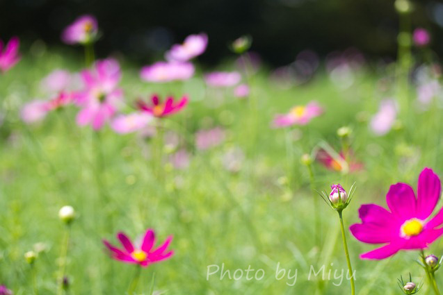 blog_021010cosmos3.jpg