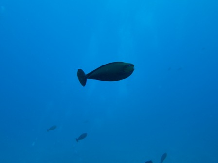 blog_Big-noseUnicornfish010510.jpg