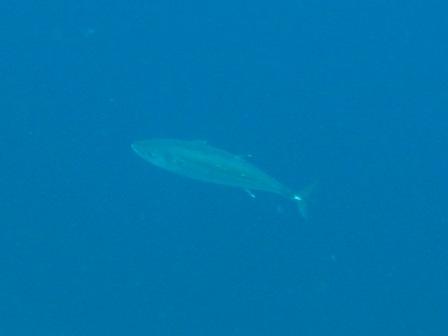 blog_Double-spottedQueenfish020510.jpg