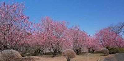 安楽寺桃の花