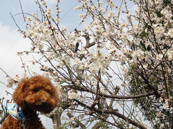 130323梅開花