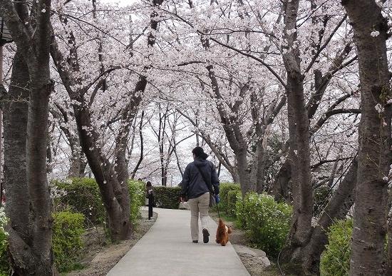 20130331桜トンネル