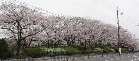 20130331桜で有名な公園